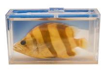 Siamese Tiger Perch för inlagd Datnioides pulcher fisk i en klar plast- behållare som isoleras på vit bakgrund royaltyfri bild