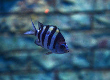 Siamese tigerfish Stock Photography
