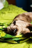 Siamese tomcat on a bed Royalty Free Stock Images