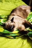 Siamese tomcat on a bed Royalty Free Stock Image