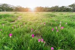 Siamese Tulip fields, Curcuma alismatifolia flower. Stock Photos
