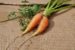 Siamese twin carrot Royalty Free Stock Photo