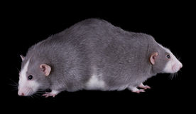 Siamese Twin Rats Royalty Free Stock Image