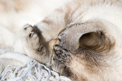 Siamese white cat lying with bent paws, closeup Royalty Free Stock Image