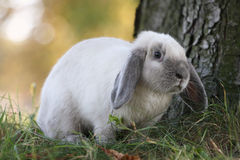 Siamesisch-blaues Kaninchen Stockfotografie