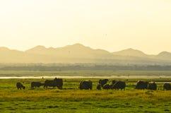Siamesische Büffelherde in landwirtschaftlichem lizenzfreies stockfoto