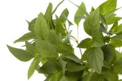 Siamesische Basilikum-Blätter getrennt stockbilder