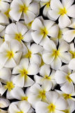 Siamesische Blume Stockfoto