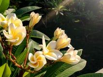 Siamesische Blume Stockfotografie