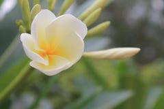 Siamesische Blume Stockbild
