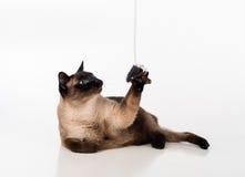Siamesische Cat Sitting auf dem weißen Schreibtisch und oben schauen Maus als Spielzeug Weißer Hintergrund Lizenzfreies Stockfoto