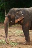 Siamesische Elefanten Lizenzfreies Stockfoto