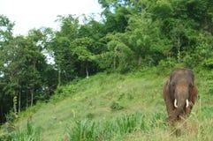 Siamesische Elefanten Stockfoto