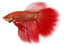 Siamesische figthing Fische Stockbilder