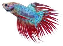 Siamesische figthing Fische Lizenzfreies Stockbild