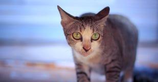 siamesische gebürtige Katzen mit Blickkontakt Stockfotografie