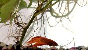 Siamesische kämpfende Fische stock video footage