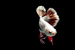 Siamesische kämpfende Fische Lizenzfreie Stockfotos