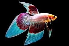 Siamesische kämpfende Fische Lizenzfreies Stockfoto