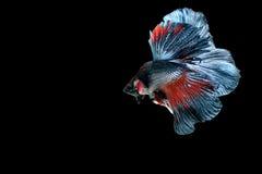 Siamesische kämpfende Fische Stockfoto