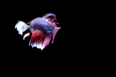 Siamesische kämpfende Fische Lizenzfreie Stockbilder