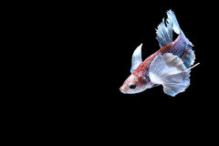 Siamesische kämpfende Fische Stockbilder