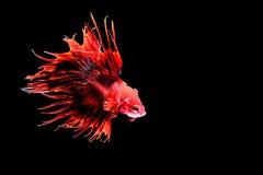 Siamesische kämpfende Fische Stockbild