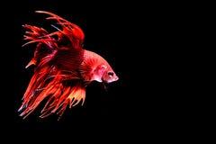Siamesische kämpfende Fische Stockfotos