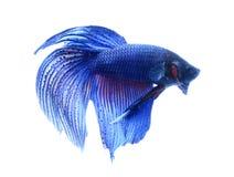 Siamesische kämpfende Fische, betta getrennt auf weißem Hintergrund Stockfoto