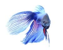 Siamesische kämpfende Fische, betta getrennt auf weißem Hintergrund Lizenzfreies Stockbild
