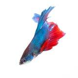 Siamesische kämpfende Fische getrennt auf weißem Hintergrund Lizenzfreie Stockbilder