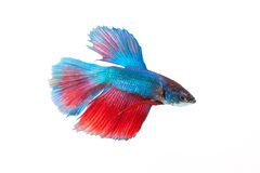Siamesische kämpfende Fische getrennt auf weißem Hintergrund Stockbild