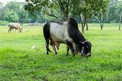 Siamesische Kühe Lizenzfreies Stockfoto