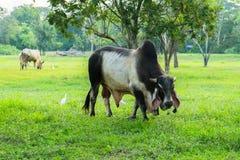 Siamesische Kühe Stockfotos