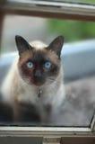 Siamesische Katze Lizenzfreie Stockbilder