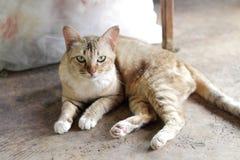 Siamesische Katze Stockbilder