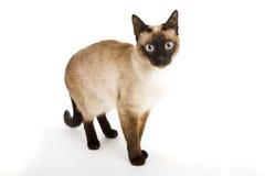 Siamesische Katze Stockfotografie