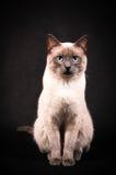 Siamesische Katze Lizenzfreie Stockfotografie