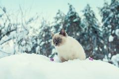 Siamesische Katze auf dem Schnee Stockbild