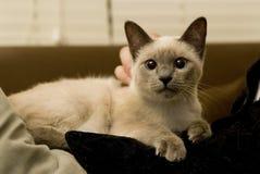 Siamesische Katze auf menschlichem Schoss Lizenzfreie Stockbilder