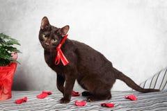 Siamesische Katze Browns Havana Stockbild