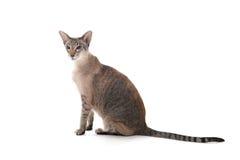 Siamesische Katze der Dichtungsgetigerten katze Lizenzfreie Stockfotografie