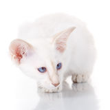 siamesische Katze des Blau-Punktes auf Weiß Stockfoto