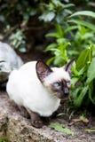Siamesische Katze des Dichtungspunktes Lizenzfreies Stockbild