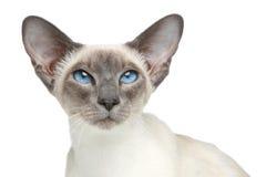 Siamesische Katze des orientalischen Blue-point. Nahaufnahmeportrait Lizenzfreies Stockbild
