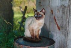 Siamesische Katze, die auf einer rostigen Tonne im Sommergarten sitzt Lizenzfreies Stockbild