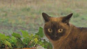 Siamesische Katze, die auf Fensterbrett durch Anlagen sitzt stock footage