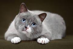 Siamesische Katze, die auf grüner Matte sich entspannt Stockbilder
