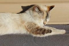 Siamesische Katze, die in der Sonne sich aalt Stockbild