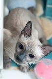 Siamesische Katze, die ein Bad nimmt Lizenzfreie Stockbilder
